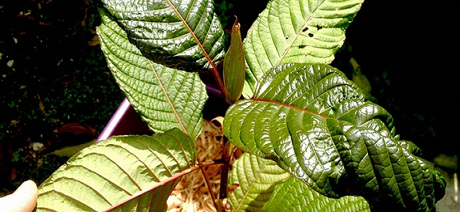kratom-benefits-effects